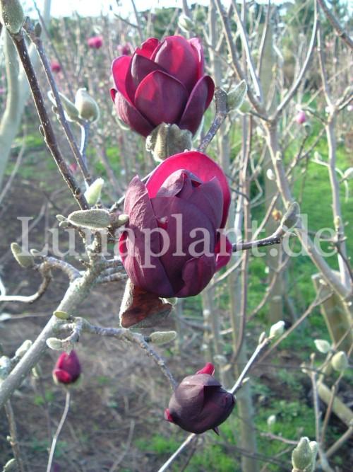 magnolia 39 genie 39 eigenschaften. Black Bedroom Furniture Sets. Home Design Ideas